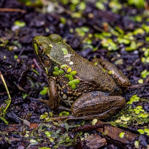 Frog01