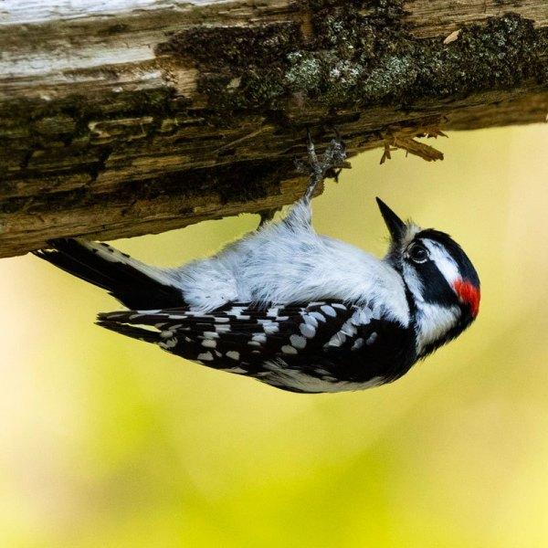 Woodpecker2273