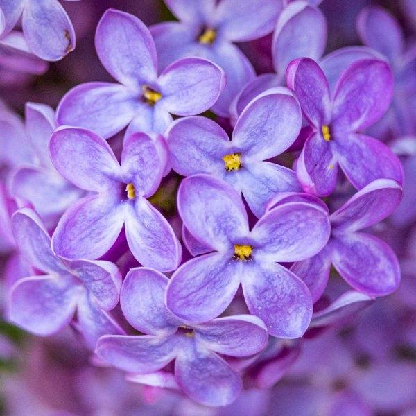 Lilac2481