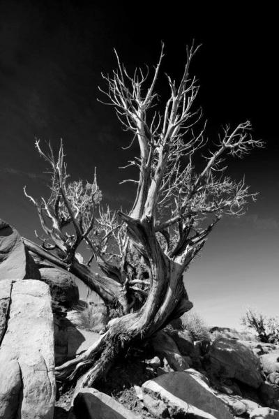 01Grand-Canyon-Tree-BW