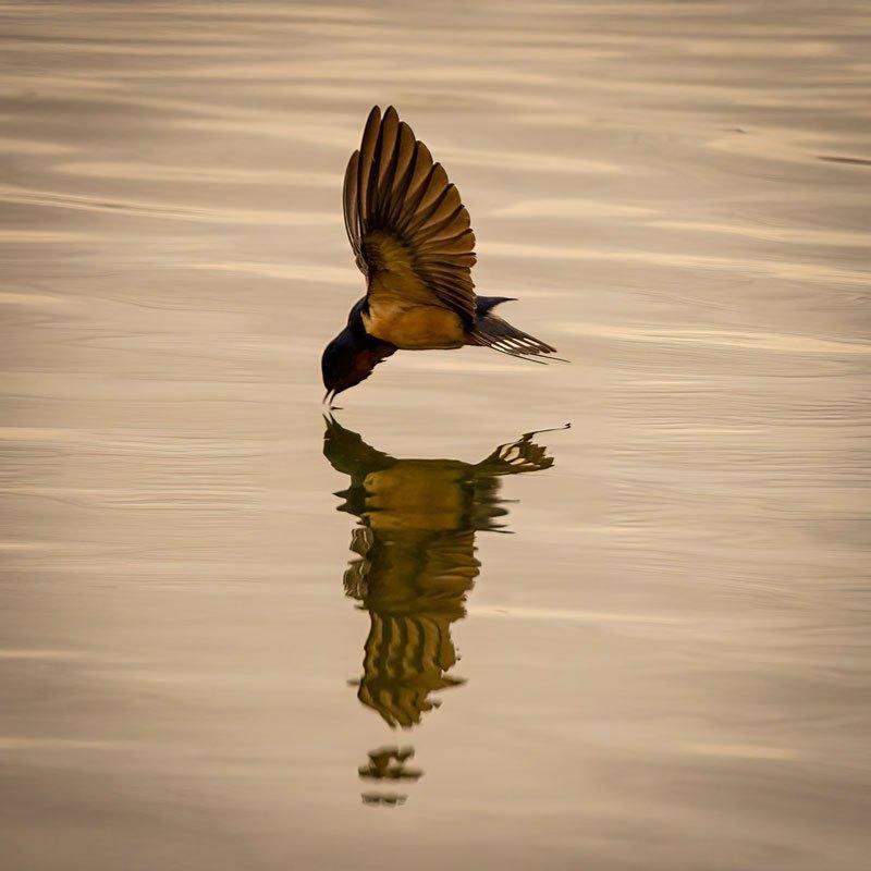 01-Swallow-Hunting01